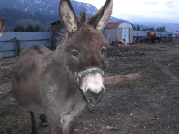 Willie-One-of-the-mini-donkeys-doesnt-believe-in-Santa