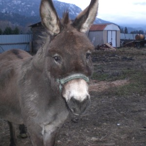 Willie (One of the mini donkeys) - doesn't believe in Santa!!!
